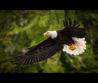 Bald Eagle by Brian Russell